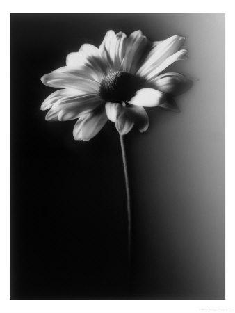 Single-Daisy-Photographic-Print-C12195766