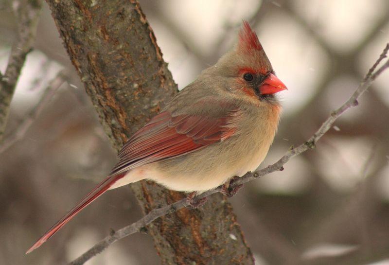 Winter Birds 051