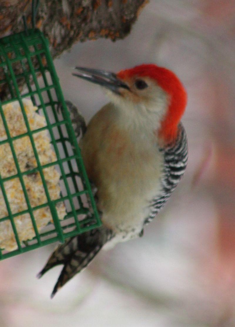 Woodpecker 017