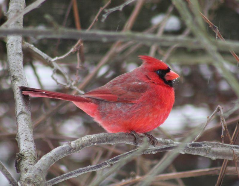 Winter Birds 074