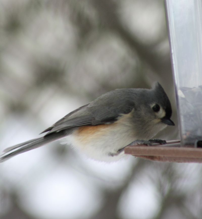 Winter Birds 078