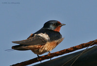 Barnswallow_2