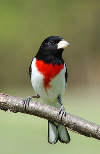 Rose_breasted_grosbeak