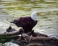 Eagleweb